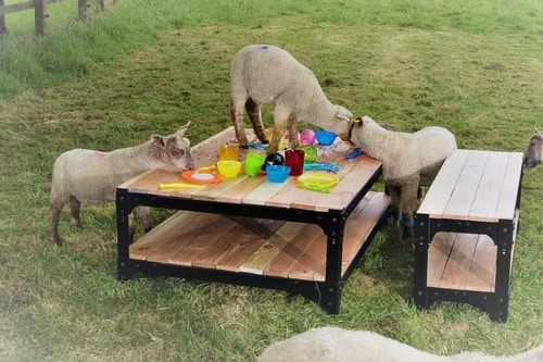 Sheep Stealing Coffee Table Picnic